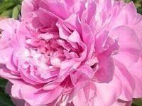 500pcs Набор розовый цвет Herbaceous пион семена цветов домашнего сада DIY хороший подарок для вашего друга Пожалуйста, лелеять