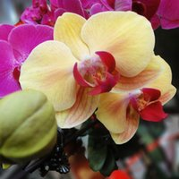 Wholesale Mix Color Phalaenopsis Flower Seeds Bonsai Plant Butterfly Orchid Home Garden Yard Decoration