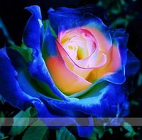 Wholesale 100 Blue Pink Yellow Rose Seeds rare color rich aroma DIY Home Garden Rose Plant crazy promotion S0104