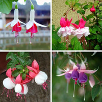 Wholesale 1 pack seeds Purple Double Petals Fuchsia Seeds Potted Flower Seeds Potted Plants Hanging Fuchsia Flowers