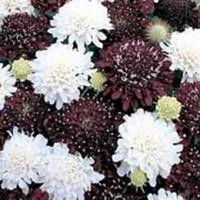 25 + semences / paquet scabiosa PINCUSHION NUIT ET JOUR NOIR / BLANC FLEUR GRAINES MIX / PERENNIAL