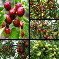Wholesale Jujube Seed Fruiting Very Sweet Healthy Organic Red Jujube Seeds Pack Seeds
