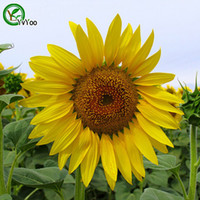 Wholesale Sunflower Seed Bonsai Flower Plant Seeds Very Fragrant Particles S017