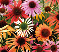 Wholesale 5000pcs a Set mixed random color Echinacea purpurea Flower Seed Home Garden Diy Reasonable Choice For You