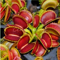 Wholesale 20pcs for Venus Fly Trap Flower Seeds Dionaea Muscipula Giant Clip Garden Plants Dionaea Flytrap Seeds Bonsai Plant