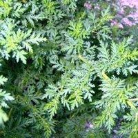 artemisia flower - 100 seeds pack ARTEMISIA quot SWEET ANNIE quot FLOWER SEEDS SWEET AROMATIC PERENNIAL