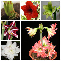 amaryllis bulbs - Barbados Lily Amaryllis Bulbs Hippeastrum Bulbs Bosai Flowers Plant bulbs