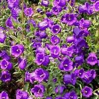 bellflower flower - 30 Bellflower Flower Seeds Campanula Medium L