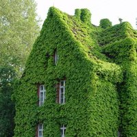 Wholesale Green Boston Ivy Seeds Creeper Seeds Climbing Wall Plants DIY Home Garden Outdoor Decoration set
