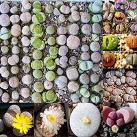 Wholesale 100PCS Mixed Succulent Seeds Lithops Rare Living Stones Plants Cactus Home Decor