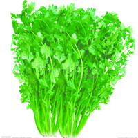 Wholesale 1 Package Healthy Cilantro Herb Seeds High Yield Fruitful