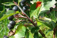 aronia seeds - 50pcs a set Aronia Viking seed HOME GARDEN DIY GOOD GIFT FOR YOUR FRIEND Please cherish it