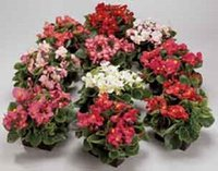 begonia mix - 30 seeds pack GORGEOUS BEGONIA AMBASSADOR MIX FLOWER SEEDS ANNUAL