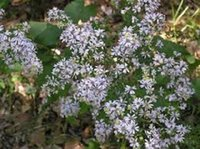 aster perennial - 40 seeds pack ASTER DRUMMONDII FLOWER SEEDS DEER RESISTANT PERENNIAL