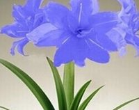 amaryllis bulbs - 3pcs a set blue color Amaryllis flower bulb it s bulb not seed HOME GARDEN DIY GOOD GIFT FOR YOUR FRIEND Please cherish it