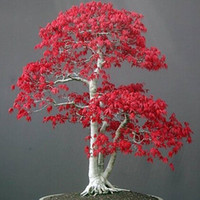 bags garden decoration - JAPANESE RED MAPLE TREE WITH Bonsai Tree Seeds Home Garden decoration particles bag