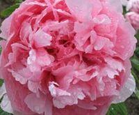 3шт Набор розовый цвет цветок пиона лампочка (это лампочка не семян) стиль 15 ДОМ САД DIY ХОРОШИЙ ПОДАРОК ДЛЯ ВАШЕГО ДРУГА Пожалуйста лелеять