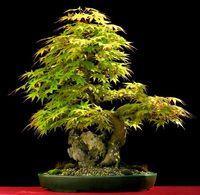 acer free - Bonsai tree MAPLE plant seeds Acer Palmatum garden decoration tree