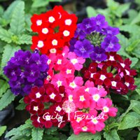 annual flower plants - Verbena Hybrida Flower Mix Color Seeds Bag Easy to Grow from Seeds Hardy Annual Bonsai Garden Plant