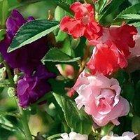 balsam color - 60 Mixed Color Garden Balsam Impatiens Balsamina Flower Seeds