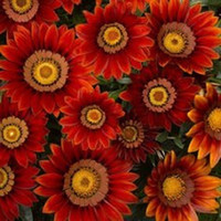 annuals shade - 30 seeds pack GAZANIA NEW DAY RED SHADES FLOWER SEEDS DROUGHT TOLERANT RESEEDING ANNUAL