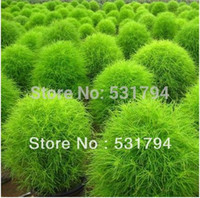 Wholesale High Quality pieceFlower seed Kochia scoparia indoor oxygen plant balcony plants potted flower seeds