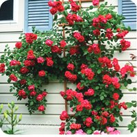Wholesale Heirloom Climbing Rose plant for out door most popular garden flower seeds home decoration