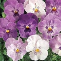 annuals shade - NEW seeds pack PANSY PANOLA LILAC SHADES FLOWER SEEDS ANNUAL SHADE LOVING