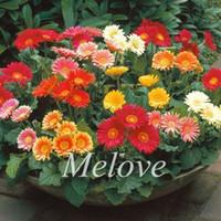 Wholesale 20 Gerbera Flower Seeds great for cut flower Gerbera Daisy Hybrids Mix