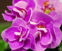african violet seeds - 500pcs a set dark fairy purple color African Violet seeds angel HOME GARDEN DIY GOOD GIFT FOR YOUR FRIEND Please cherish it