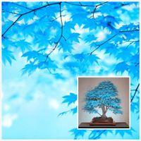 Wholesale 20 Bonsai Blue Maple Tree Seeds Bonsai Tree Seeds Rare Sky Blue Japanese Maple Seeds Balcony Plants for Home Garden