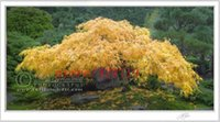 Wholesale 20 japanese YELLOW maple tree seeds decorate your home garden