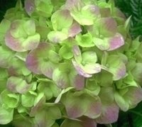 500pcs Набор Гортензия цветок семена светло-зеленый маленький розовый цвет дома сад DIY хороший подарок для вашего друга Пожалуйста, лелеять