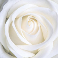 Wholesale White pure love white rose flower seeds desert mountain flower seeds plant balcony seed