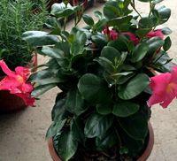 300pcs Набор темно-розовый цвет Dipladenia sanderi Цветок Семя Дом и сад DIY хороший подарок для вашего друга Пожалуйста, лелеять