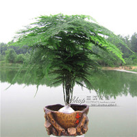 bamboo tree indoors - High Quality Seeds30pcs Potted bamboo Seeds bonsai plant flower seeds indoor outdoor pot seed germination rate of D053