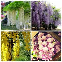 Wholesale 20pc bag colors of perfume Purple yellow white pink Blue Wisteria creepers Flower Seeds for castle home garden flower planters Z00468