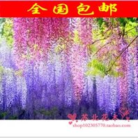 Wholesale Shinnied wisteria flower xiaomiao purple