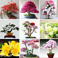 azaleas plants - 200 bag Rare Bonsai Varieties Azalea Seeds DIY Home Garden Plants Looks Like Sakura Japanese Cherry Blooms Flower Seeds