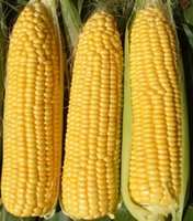bagged corn - 5 Bags Vegetable seeds Sweet Yellow Corn Seeds Organic Heirloom Vegetable Seed BB015