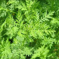 artemisia plants - New Artemisia Annua Seeds Garden Plant Bonsai Seeds Varieties Interest Tree Seeds Perennial Evergreen