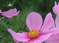 1000pcs в комплект розовый цвет короткий космос цветок семена Дом и сад DIY хороший подарок для вашего друга Пожалуйста, лелеять