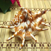 Cheap Conch shell   coral aquarium decoration collection boutique special offer elephant foot jade snail