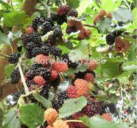 Wholesale Bonsai Mulberry Tree Seeds Pieces bag PLUS GIFT Perennial Bonsai Fruit Plant Blackberry Seeds bags per