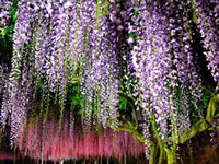 Wholesale Sale Taller Crops Wisteria Seeds Pieces Per Package Flower Seeds Many Color for Select Garden Plants