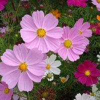 attract butterflies - 50 Common Cosmos Flower Seeds Cosmos Bipinnatus Attracts Bees And Butterflies