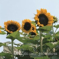 sunflower seed - 20 GIANT SUNFLOWER Seeds Rare Giant Plant Ornamental Plants The Budding Rate