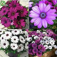Семена цветущие Цены-семена Африканский голубой глаза Daisy Cape Mix Flower Heirloom 30PCS / уп