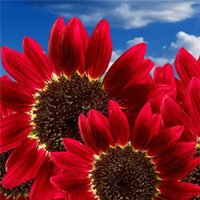 Wholesale 15pcs Flowers Fortune Sunflower Fortune Sunflower Seeds Flowers Seeds Red Sun Fortune Bloom Garden Seeds Bonsai Plants Seeds