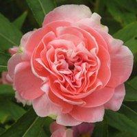 balsam color - 30 Mix Color Garden Balsam Impatiens Balsmina Flower Seeds diy Home Garden